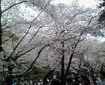 哲学堂公園の桜